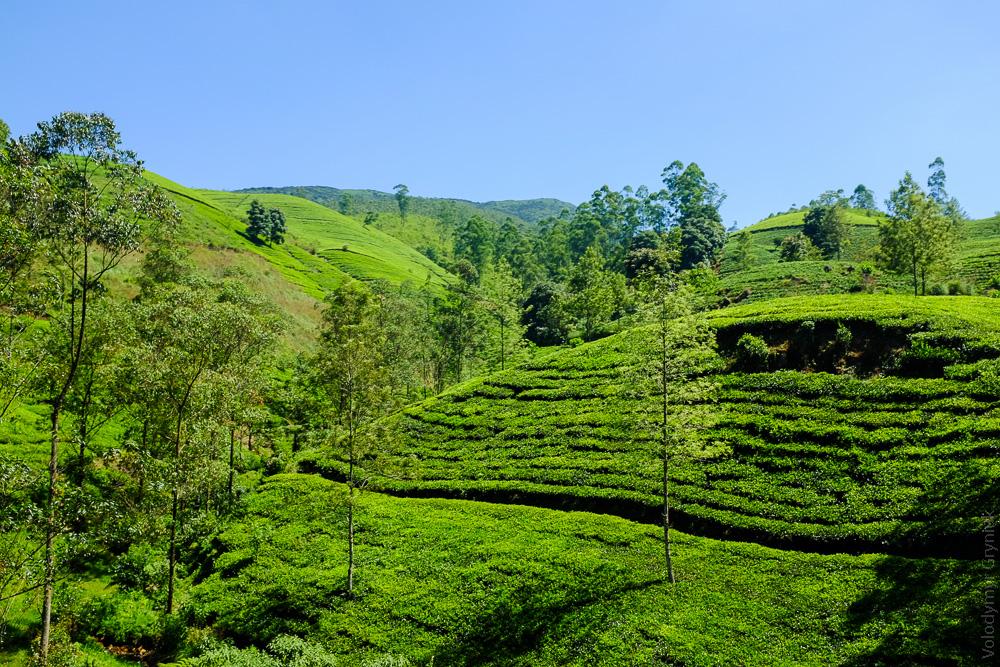 Шрі-Ланка Чай, чайні плантації